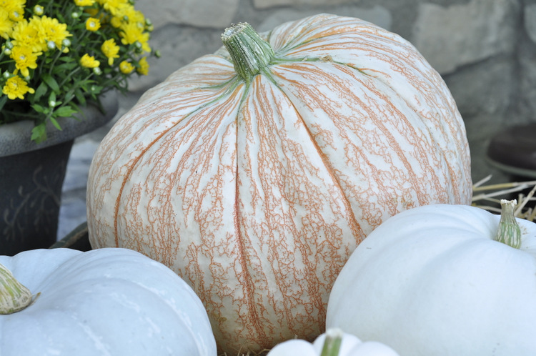 "The color and design on this variety of pumpkin made me gasp with delight! It reminds me of vintage lace. The sign said it is called ""One Too Many""."